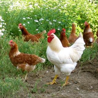 welches huhn legt die meisten eier